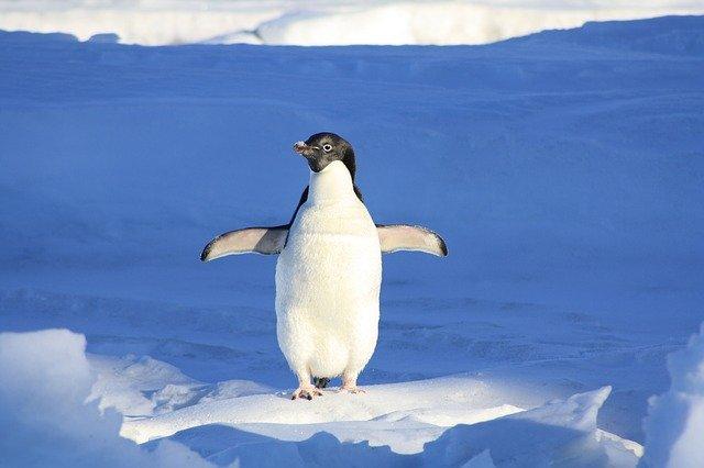 tučňák na ledu